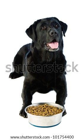 A laying labrador dog waiting a permission at eat. - stock photo