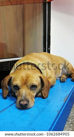 A lazy dog                                #1062684905