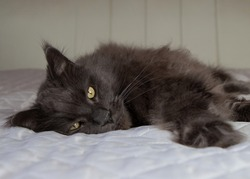 A lazy gray Maine Coon cat is lying on the bed. Day of the cat. Sleep day.