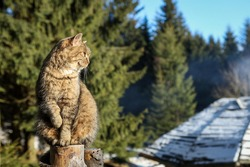 A lazy, sleepy, light brown cat, siting on a wooden fence in the forest, in front of Sowa mountain shelter, Owl Mountains, Poland. Sunny, winter day.