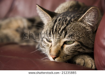 A lazy, tabby cat half asleep on a burgundy leather chair.  Shallow DOF.