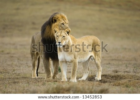 A leading Pair of Lion out on the plains