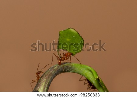 A leaf cutter ant in a dutch zoo