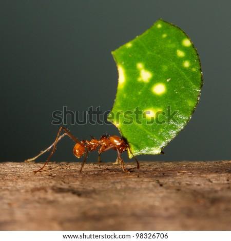 A leaf cutter ant in a dutch zoo