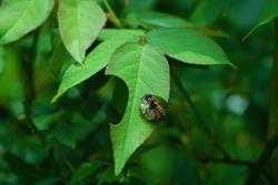 a leaf-cutter bee on a rose leaf