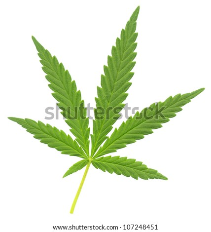 a leaf of marijuana (Cannabis sativa), isolated over white - stock photo