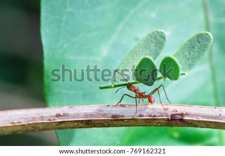A leafcutter ant carries a large piece of a plant to its colony. Tortuguero National Park, Costa Rica. stock photo