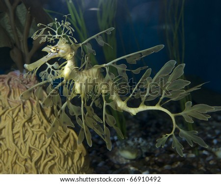 A Leafy Sea Dragon at the Aquarium of the Pacific.