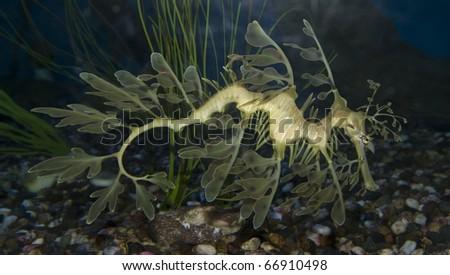 A Leafy Sea Dragon at the Aquarium of the Pacific.