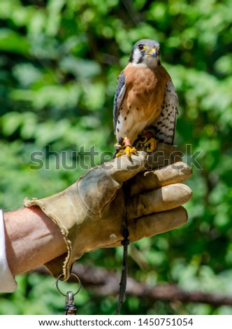 a leather gloved hand holds an American Kestrel falcon, a small bird of prey found in North America