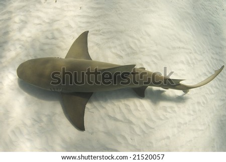 A lemon shark (Negaprion brevirostris) passes underneath along the ocean floor
