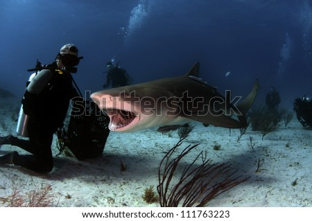 A lemon shark snapping at a bait crate.