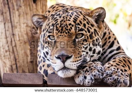 A leopard At phoenix Zoo Arizona.  #648573001