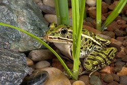 A leopard frog is sitting in a shallow pond.