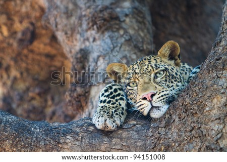 A leopard's face and paws where it rests in the fork of a large tree