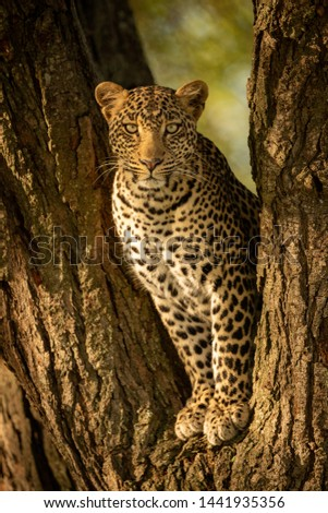 A leopard sits in the forked trunk of a tree. It has a brown, spotted coat and is looking straight at the camera. #1441935356