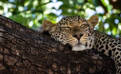 A Leopard sleeps in the shade of the tree on the Chobe Riverfront in the Chobe National Park in northern Botswana