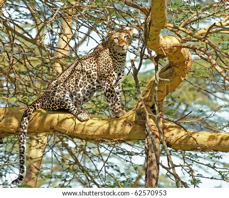 a leopard stands on acacia tree to rest after a kill
