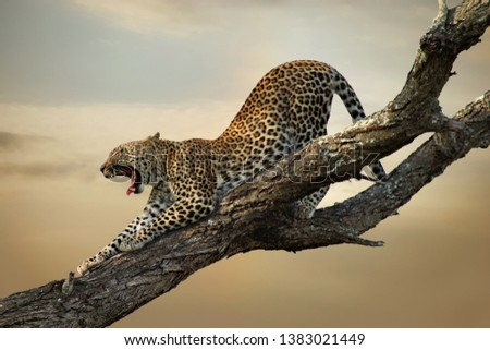 A leopard stretches its legs and yawns in a tree in a South African game park against a dramatic sky. #1383021449