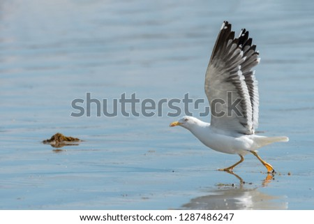 A lesser black-backed gull (Larus fuscus) taking off a beach on a sunny day in summer