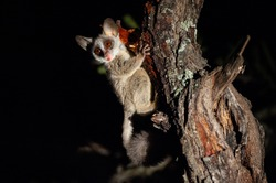 A Lesser Bushbaby seen feeding on tree resin on a safari at night in South Africa