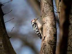 A Lesser Spotted Woodpecker sitting on a small tree, sunny day in early spring, deciduous forest in Vienna (Austria)