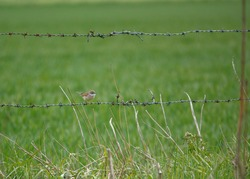 a lesser whitethroat (Curruca curruca) sitting on barbed wire fencing survyes the grassland around