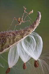 A lichen mantis nymph is perched on top of a milkweed pod.