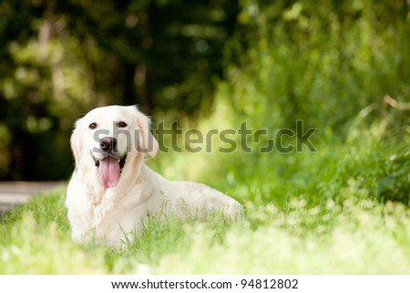 A licking labrador retriever lying in green grass