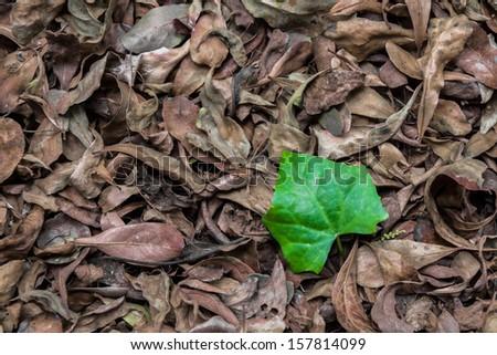a lief leaf among dry leaf