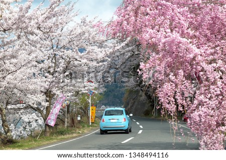 A light blue car driving on a highway under beautiful Sakura trees by Lake Biwa near Kaizu Osaki in Takashima, Shiga Prefecture, Japan~Hanami (admiring cherry blossoms) is a popular activity in spring