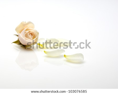 a light pink rose and rose petals isolated on a white background