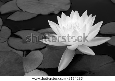 A light waterlily stands out against dark water and leaves