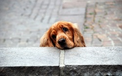 A lightbrown and brown dog looking tired and cute over a stone wall