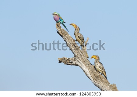 A lilac breasted roller and two yellow billed hornbills perch on a dead tree branch, Kruger Park, South Africa. (Coracias caudata), (Tockus leucomelas)