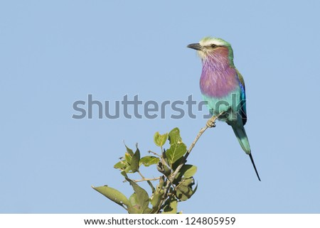 A Lilac Breasted Roller perched on a branch in South Africa's Kruger Park. (Coracias caudata)