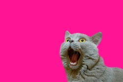 A lilac British cat looking up. The cat opened his mouth with a mad look. The concept of an animal that is surprised or amazed. The figure of a cat on an isolated background of Plastic Pink color.