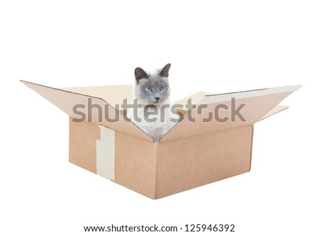 A Lilac Point Siamese sitting in a box.  Shot on white background.