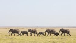 A line of African Elephants walking through Amboseli in Kenya