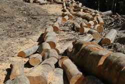 A line of beech logs in the forest