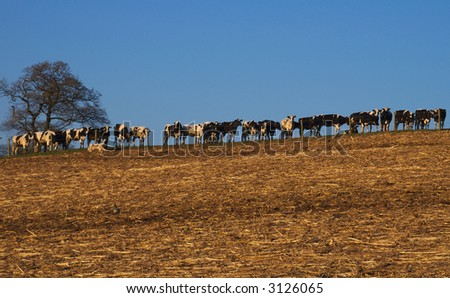 A line of cows on the hillside across the horizon with an empty field in the foreground