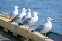 A line of Icelandic gulls, grey and white in colour, standing on the edge of a yellow wooden pier. All the birds are looking away with the exception of one gull that has a funny look on its face.