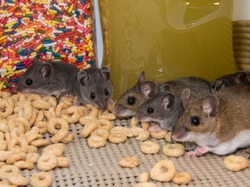 A line up of a brown mother house mouse and four of her gray offspring in a well stocked kitchen cabinet. The rodents are standing on cereal with candy and jars of food in the background.