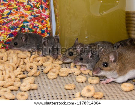 A line up of a brown mother house mouse and four of her gray offspring in a well stocked kitchen cabinet. The rodents are standing on cereal with candy and jars of food in the background. Foto d'archivio ©