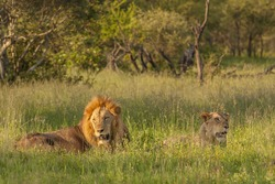 A lion and Lioness resting in the late afternoon sun. Kruger National Park, South Africa