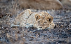A lion cub, Panther leo, lies down, resting head on paws, direct gaze