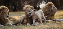 A lion cub rubs himself against a male lion looking for attention as the other lions survey the African wilderness