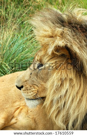 A lion head profile with a big mane watching other lions in a game park in South Africa