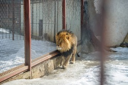 A lion in a cage, in a zoo, in winter. A wild animal in captivity.