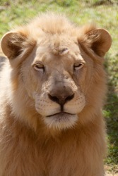 A lion is a mammal of the feline family and one of the four large felines belonging to the genus of tiger, and it is the second largest feline in the world after the tiger .